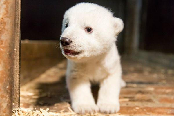 Το Βερολίνο θρηνεί τον Φριτς: Το πολικό αρκουδάκι πέθανε μόλις 4 μηνών! ζώα