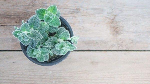 Το κρητικό υπερ-βότανο που κάνει θαύματα! έρωντας δίκταμος βότανα