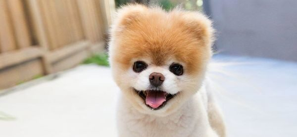 Θλίψη: Πέθανε ο Boo, ο πιο όμορφος σκύλος του κόσμου (βίντεο) σκύλος Boo