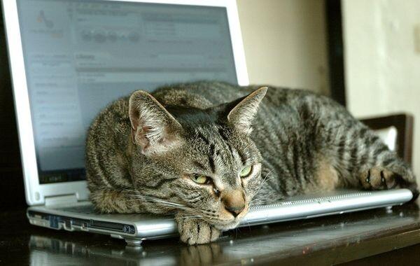 Ερευνητές εξηγούν γιατί οι γάτες αγαπούν τα πληκτρολόγια των υπολογιστών! έρευνες γάτα